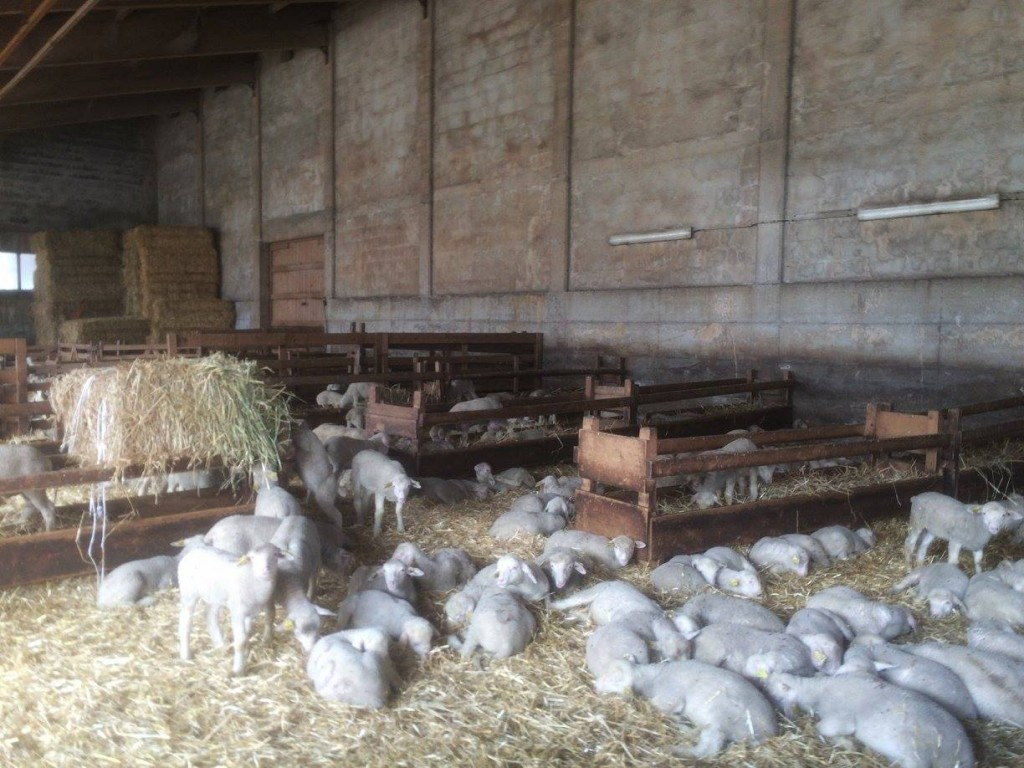 A couple of KMs before the end, the race routed into and through a barn which was full of lambs